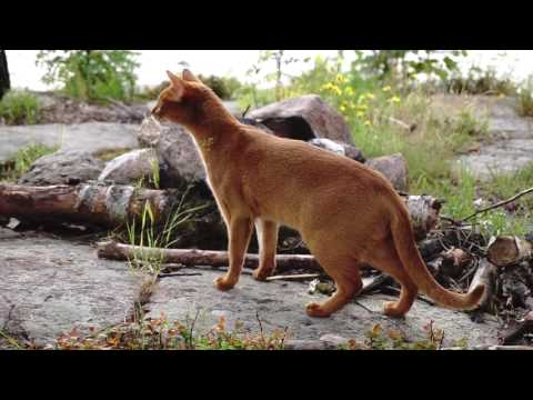 Abyssinian cats going wild in the forest!!