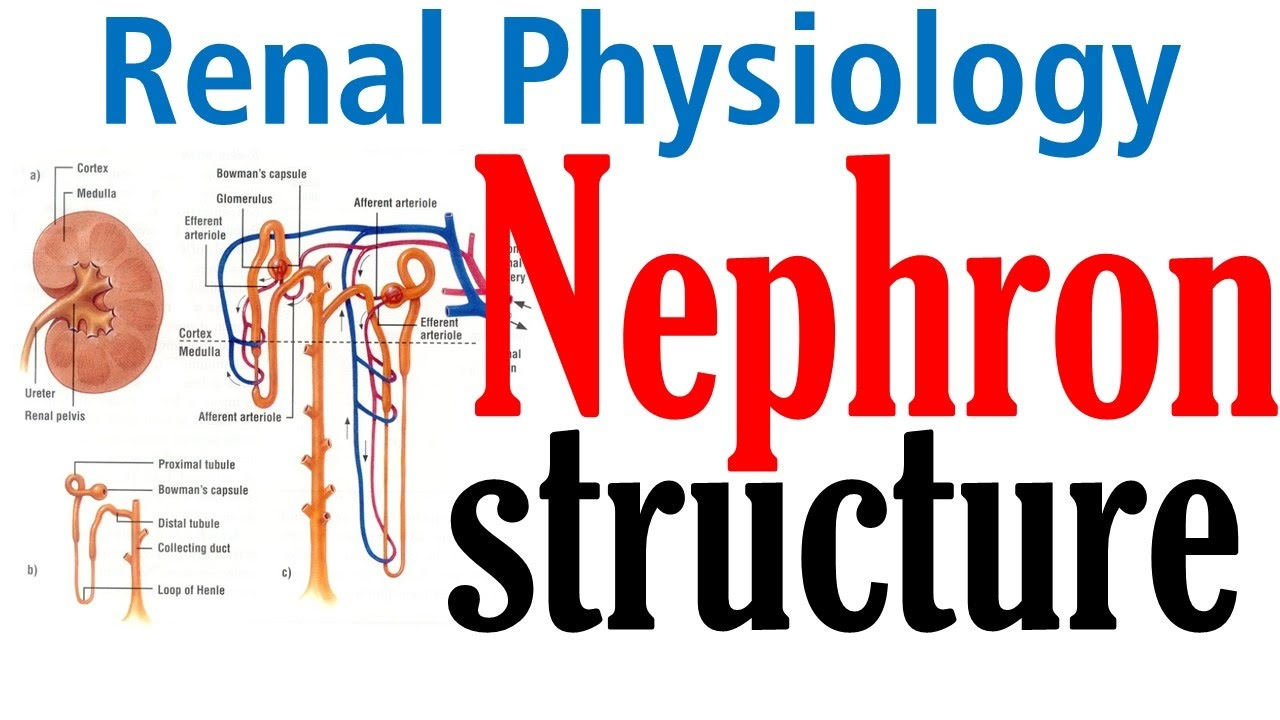 Structure Of Kidney Nephron Structure And Function Youtube