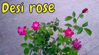 i love desi rose   ye pora saal growth krta hai