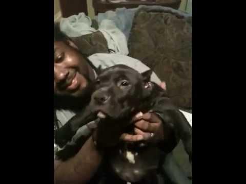 Beastmodekennels pups UKC XXL BLUE Pitbull Puppies 7 weeks ...