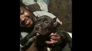 Beastmodekennels Pups Ukc Xxl Blue Pitbull Puppies 7 Weeks After Hours After Ear Cropped