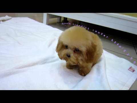 Super Tiny Teacup Poodle - Teacup poodle Toy poodle Pocket teacup poodle