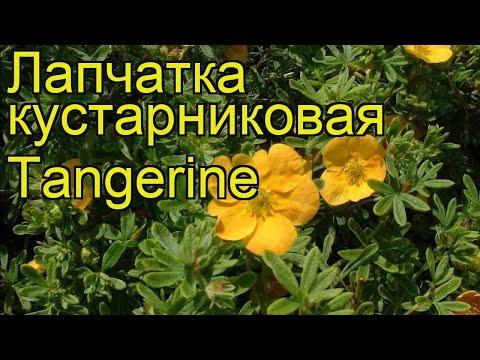 Лапчатка кустарниковая Танжерин. Краткий обзор, описание potentilla fruticosa Tangerine