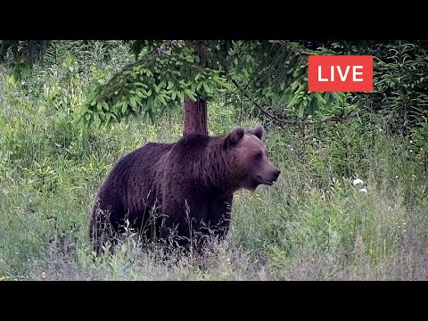 LIVE Animal Cam - Bear - Deer - Boar - Fox - Wolf - Birds - Wildlife - Transylvania, Romania, Europe