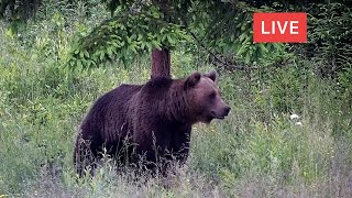 LIVE Animal Cam  Bear  Deer  Boar  Fox  Wolf  Birds  Wildlife  Transylvania, Romania, Europe