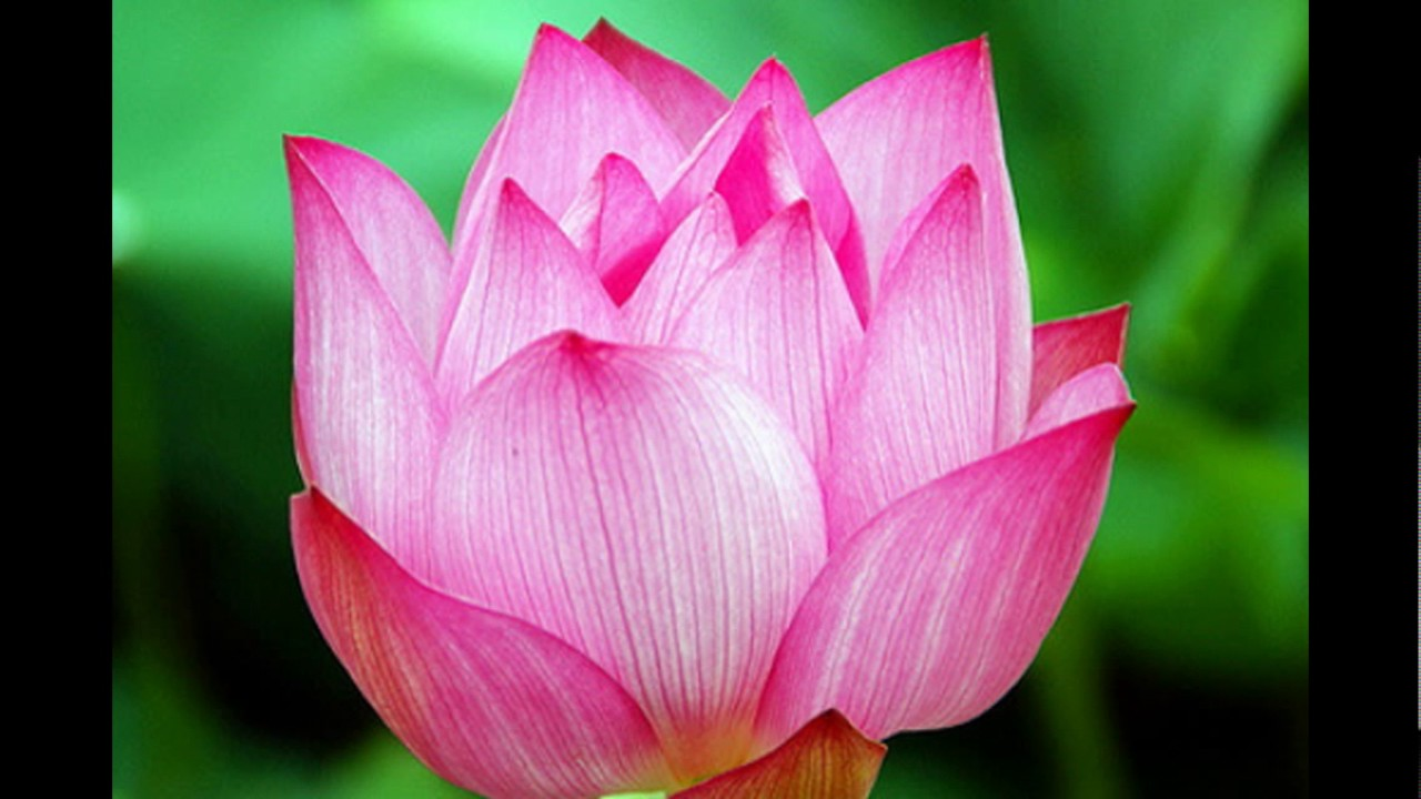 Marvellous Pictures Of Lotus Flower Lotus Flower Photos And Pics