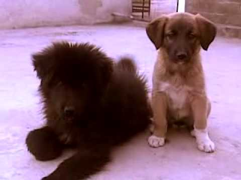 Pure Puppies of Bakharwal Dog