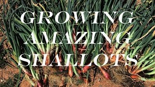 how to grow shallots in a container