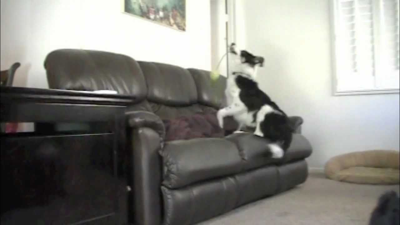 """How To"""" Stop Your Dog From Jumping On The COUCH Without Punishment"""