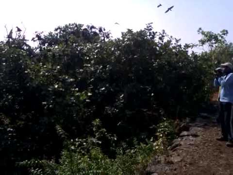 Bats @ Suvarnadurg Fort, Murud-Harnai, Dapoli, MH, India