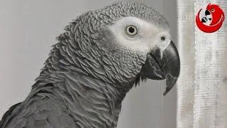 "Gadająca papuga Grigorij - ""Monolog"" (Gregory The Talking Parrot - ""Monologue"")"