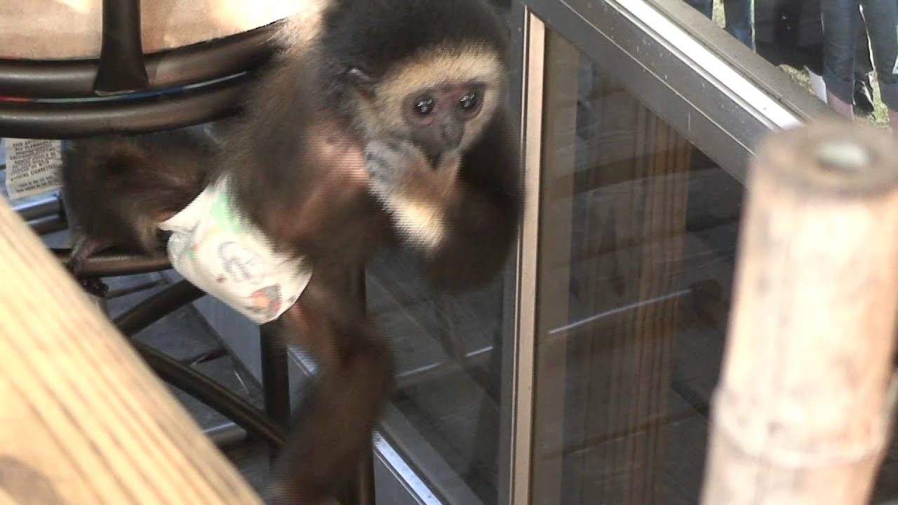 Baby Monkey in a diaper  YouTube