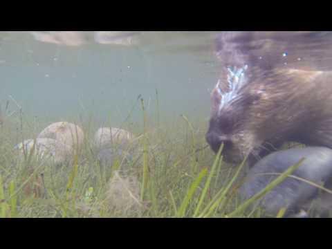 Beaver gathering stones for dam building -  Jeff Hogan, Filmmaker