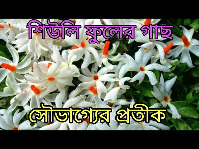 ????? ??? ????? ???????? // Seuli flower//harsingar plants