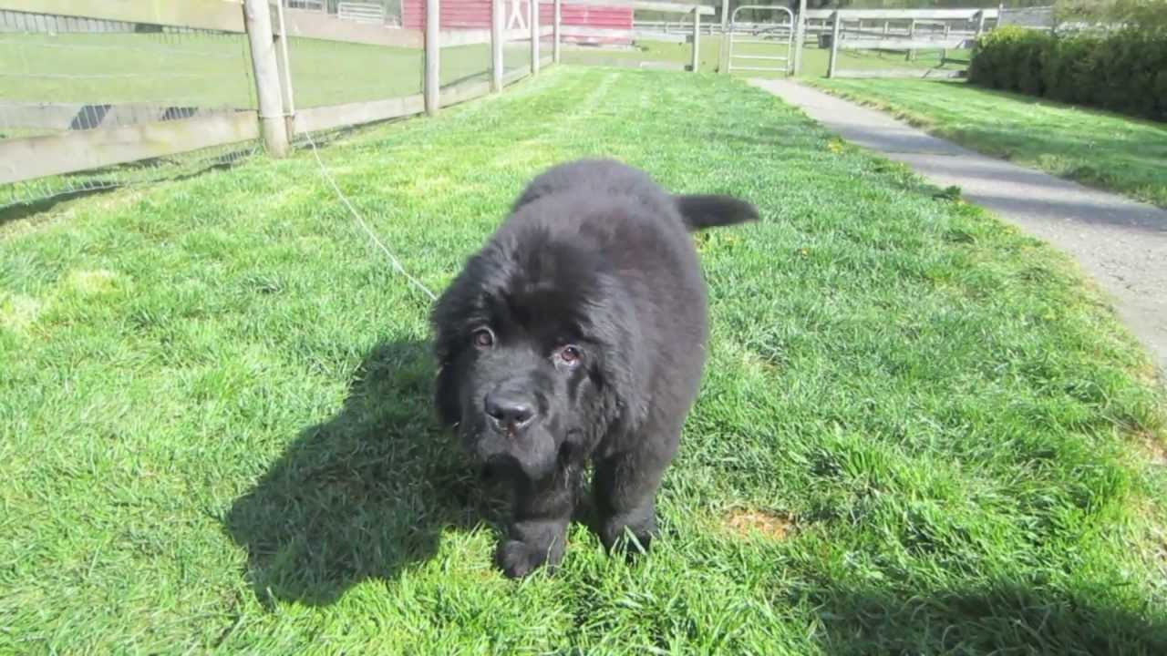 Cute Newfie Puppy Youtube