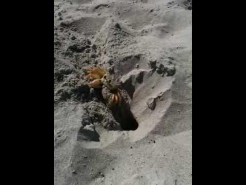 Crab excavating