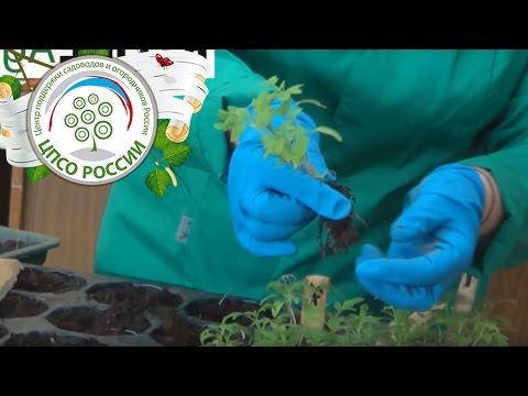 видео: Как пикировать томаты (помидоры) или пикировка рассады томата.
