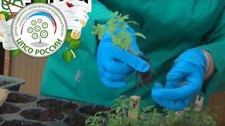 Как пикировать томаты (помидоры) или пикировка рассады томата.(Мы предлагаем Вам просмотреть очередной ролик проекта