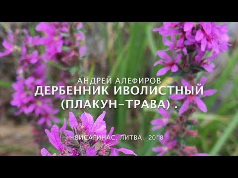 Дербенник (плакун) иволистный. Алефиров А.Н.