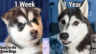 My Husky Puppy Growing Up 1 Week to 1 Year - Unseen Clips