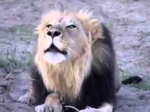 Lion Roaring Very loudly live - Gir Gujarat India Lion
