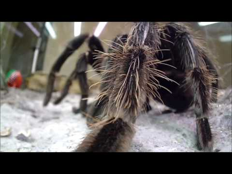 CLOSE CALL!! Meet Rex, The Salmon Pink Brazilian Bird Eating Tarantula / Spider