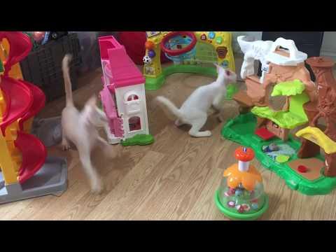 Devon Rex Kittens in the Toy Room