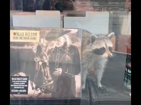 WATCH: rebellious raccoon sneaks into Queen St. record shop