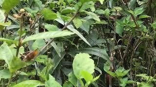 クラワタクロセセリ / Notocrypta clavata 2018/03/25 Poring Hot Spring, Butterfly of Malaysia