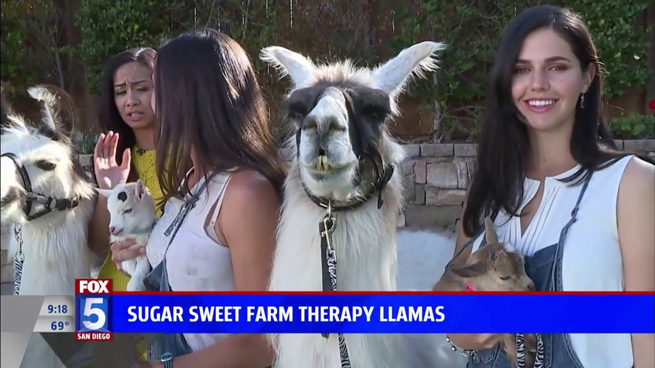 Therapy Llamas at Sugar Sweet Farm