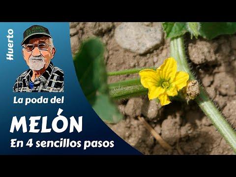 La poda del melón en 4 sencillos pasos