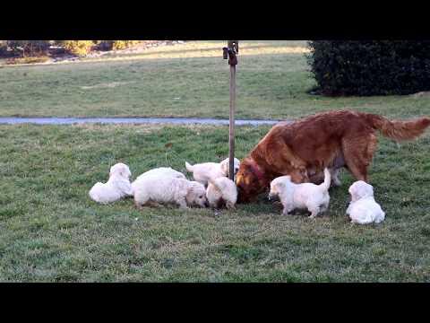 Goldichon Puppies For Sale