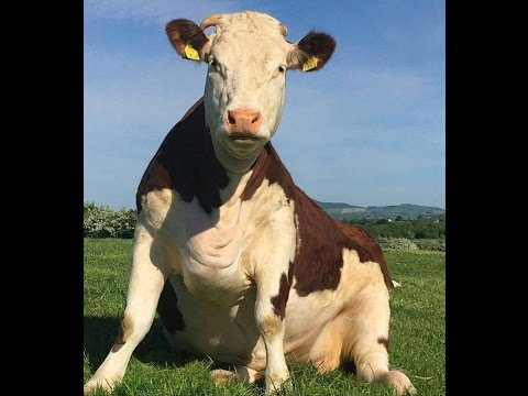 фото корова, фото корова картинка обои фото корова