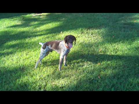 German Shorthair Pointer Cyrus playing frisbee
