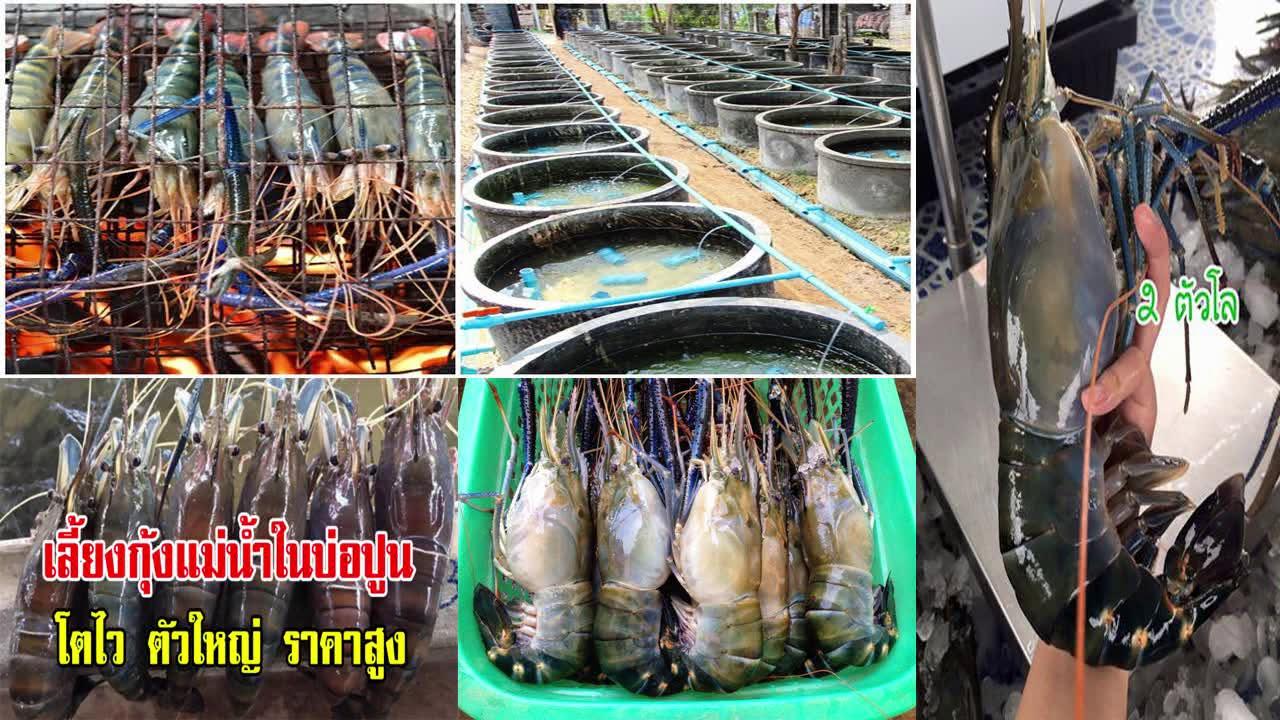 เทคนิคเลี้ยงกุ้งยักษ์ในบ่อซีเมนต์แบบง่ายๆ!!!!ได้ยอดขายกิโลละหนึ่งพันบาทขึ้นไป