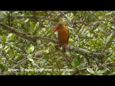 Brown-Winged Kingfisher Calling