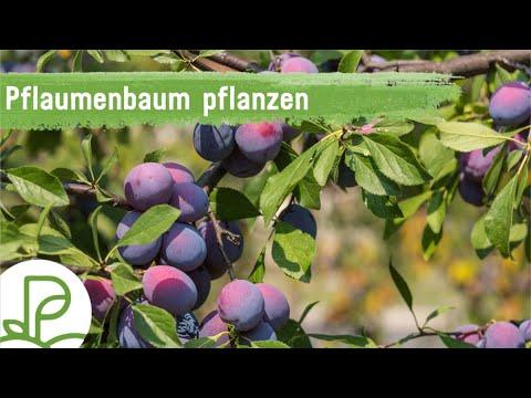 Sehr Pflaumenbaum: Alles vom Pflanzen & Pflegen bis hin zum Schnitt FM24