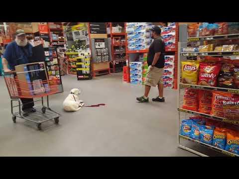 8-Month-Old Lab Rocket! Best Labrador Retriever Dog Training in Colorado!