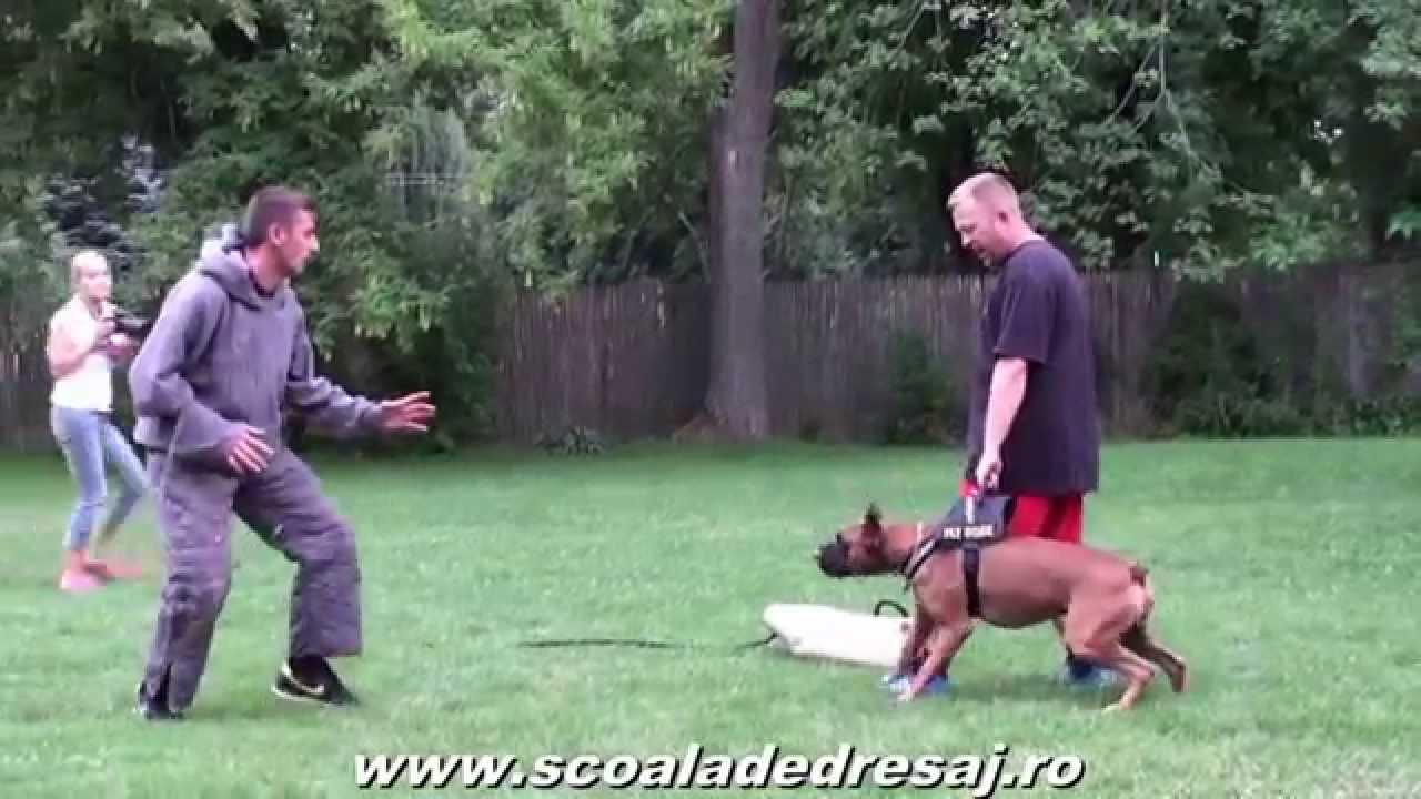 Protection Dog Training Youtube