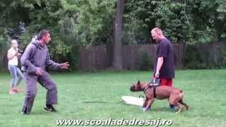 Boxer Personal Protection Training,attack,bite