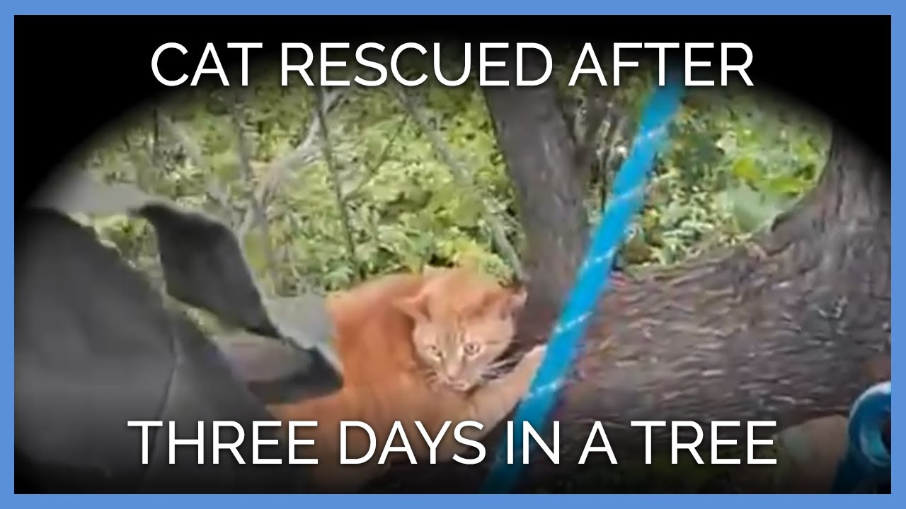 cat-stuck-in-tree-for-three-days-see-the-gopro-rescue-video