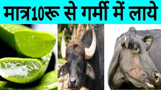 Gambar cover Formula for heating cow and buffalo, Heat Problem Solution in Dairy Farm india भैस को हिट में लाये