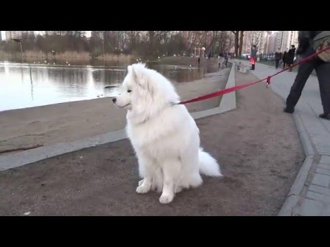 Samoyed Husky Kapi acquainted with the dog of another breed