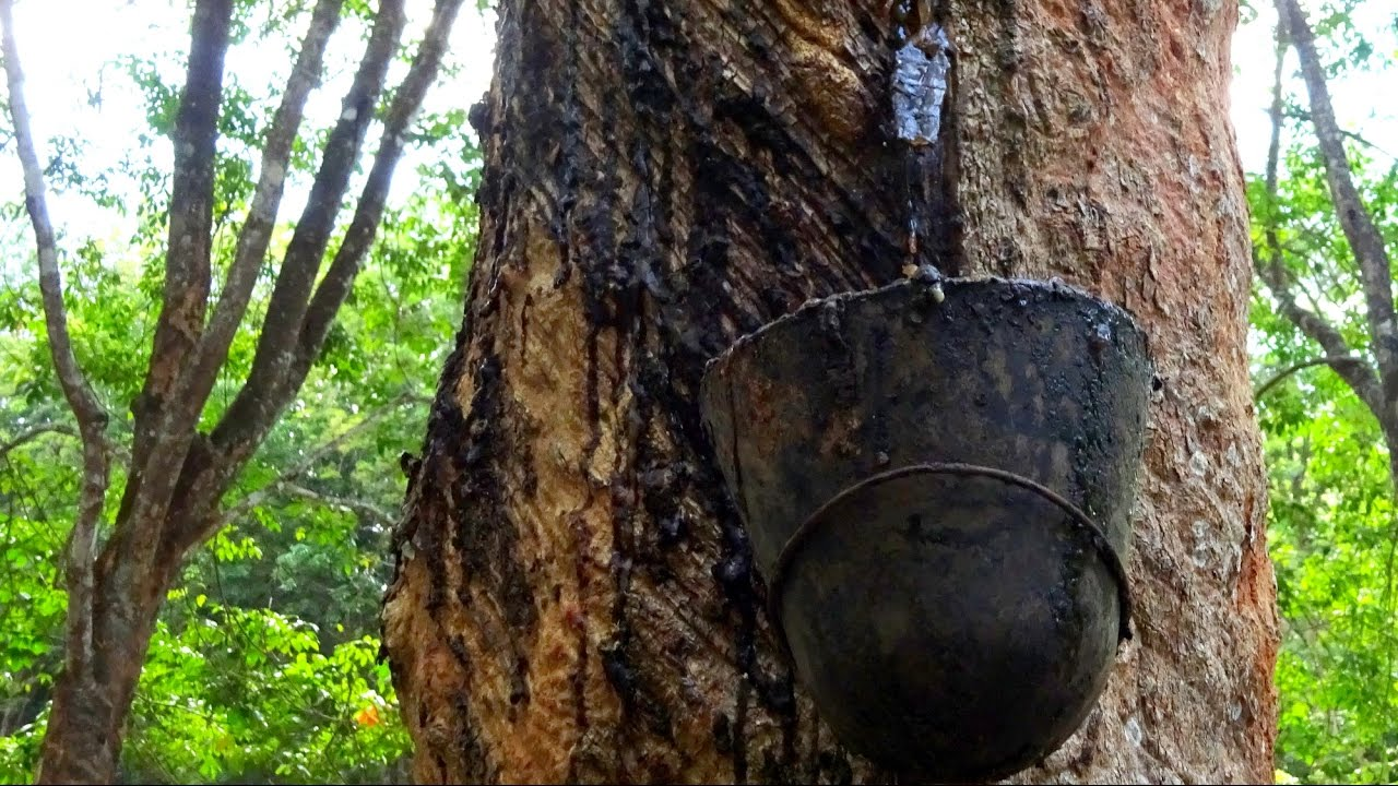 If You Ever Wondered Rubber Really Does Grow On Trees