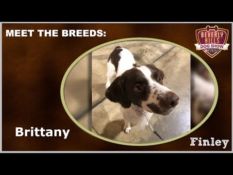 The Beverly Hills Dog Show: Meet The Breeds - Brittany