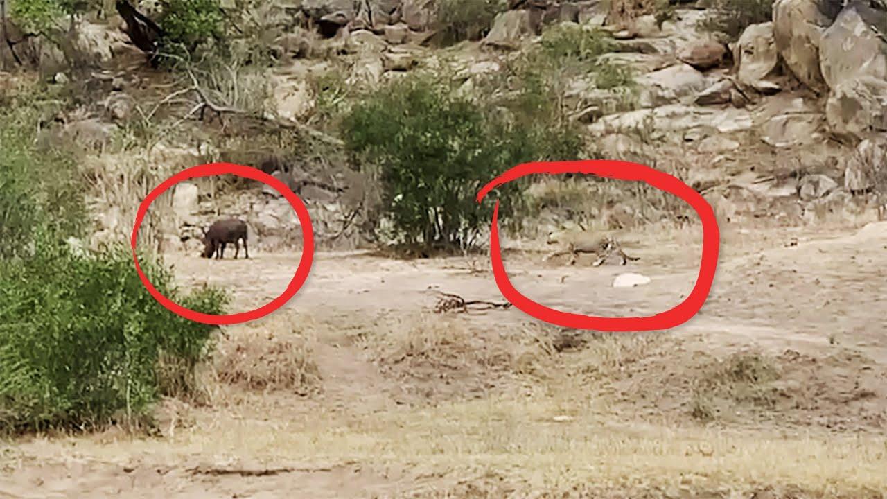 Leopard Hunt Fail!