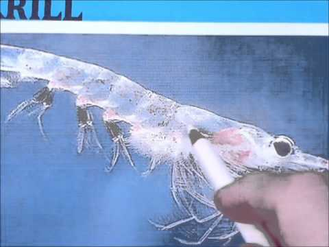 Draw an Antarctic krill