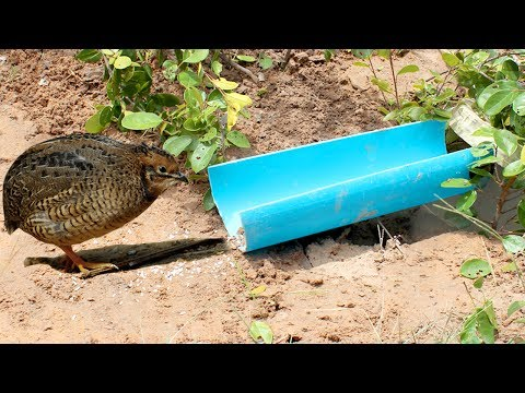 Make Awesome Quick Bird Trap Using Teeter PVC - How To Make Teeter Bird Traps With PCV Works 100% Snapshots
