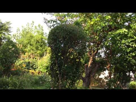 Asia organic garden in America. 08-2017.