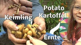Kartoffeln vom Keimling bis zur Ernte ein Unglaubliches Experiment